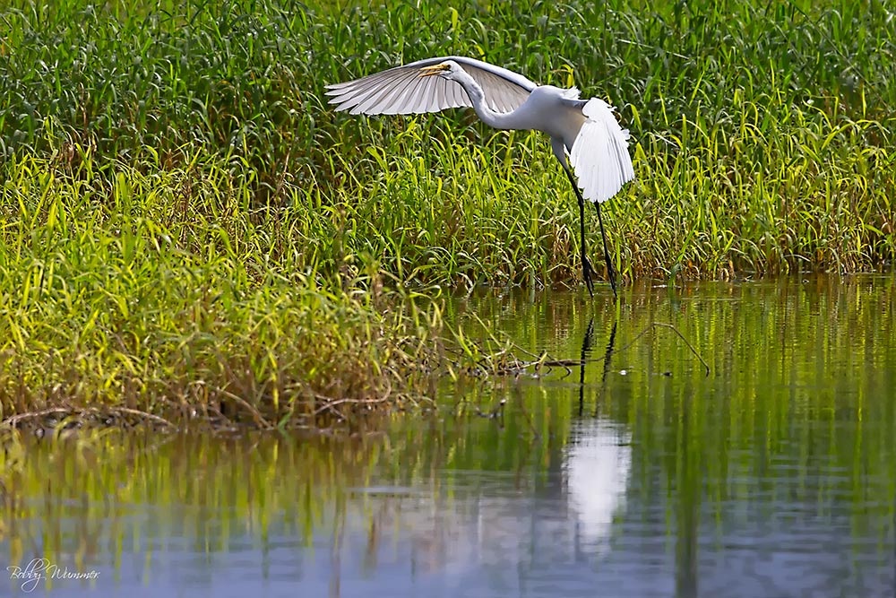 Heron with wings spread taking flight from a river i with tall grass